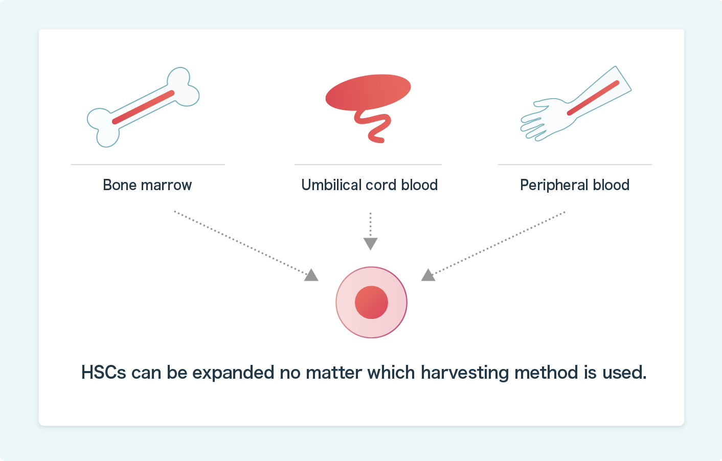 HSCs can be expanded in-vitro, regardless of their origin, whether umbilical cord blood, bone marrow or peripheral blood.