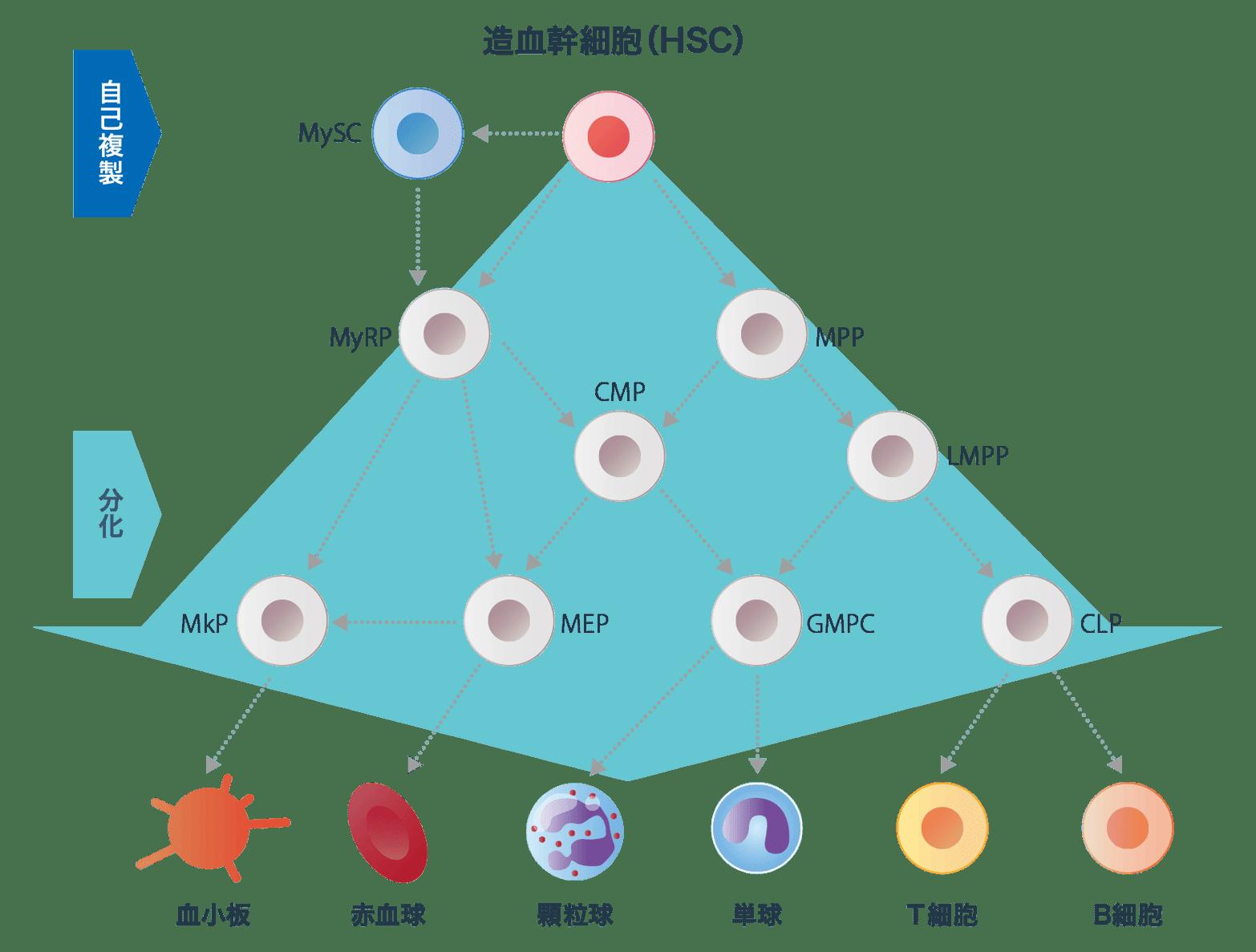 赤血球・白血球・血小板