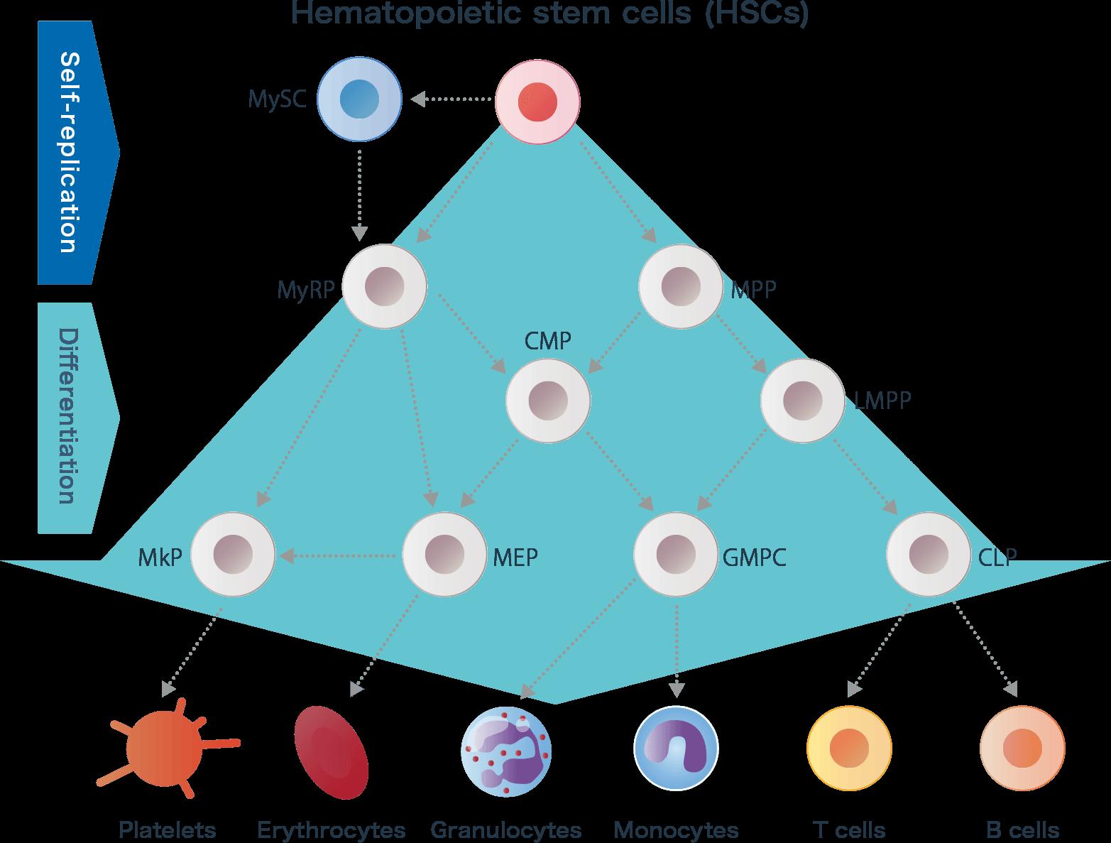 What are hematopoietic stem cells